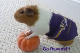 Hamster Halloween Costumes Halloween Costumes Ravens Guinea Pig Modeling Company