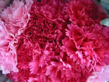 Wholesale Carnations Wholesale Carnations Fresh Cut Flower Supplier Bulk Carnation Prices