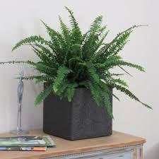 xl large boston fern indoor house plant complete u2013 bentleys