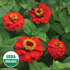 zinnia flower cap zinnia organic flower seed savers exchange