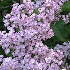 syringa vulgaris viviand morel buy mauve lilac trees bushes