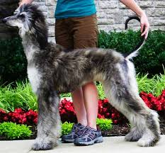 afghan hound rescue north carolina the 105 best images about afghan hound on pinterest gypsy rose