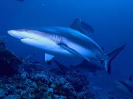 grey reef shark wikipedia