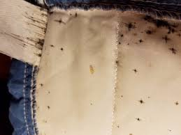 bed bug sheddings bed bug shedding and excretion stains picture of north vancouver