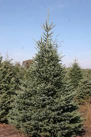 omaha nebraska spruce trees arbor trees