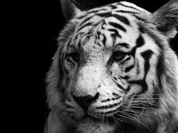 white tiger up 壁紙画像 pchdwallpaper com pchdwallpaper com