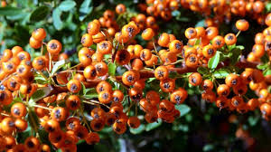 beware the spines of sea buckthorn ireland the times the