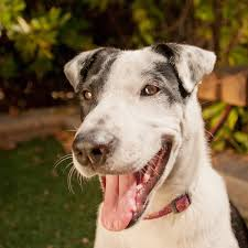 australian shepherd san diego aussie rescue of san diego daily dog tagdaily dog tag