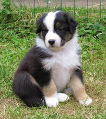 australian shepherd spaniel mix australian shepherd puppies pictures miniature diet breeding