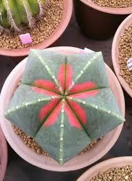 resume modernos terrarios suculentas astrophytum myriostigma cv kohyo succulentes astrophytum