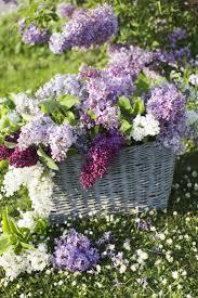 319 best flowers lilacs images on pinterest lilacs house