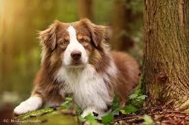 rescue an australian shepherd puppy 17 best images about dogs on pinterest golden retriever rescue