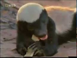 Meme Honey Badger - the crazy nastyass honey badger original narration by randall youtube