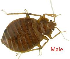 light brown roach looking bug milwaukee pest identification guide identify and prevent bed bugs