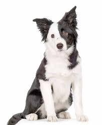 australian shepherd dog names australian dog names naming ideas from down under