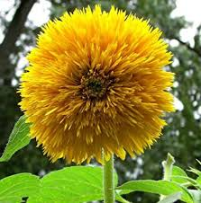 teddy sunflowers sunflower sungold teddy sunflowers 200