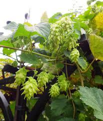 Hops On Trellis Wshg Net Bainbridge Bounty Featured The Garden March 20