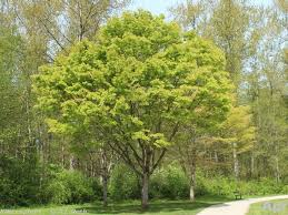 Green Vase Japanese Zelkova 11 Best Top10 Shade Trees Images On Pinterest Shade Trees Beech
