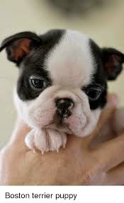 Boston Terrier Meme - boston terrier puppy meme on sizzle