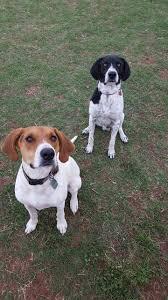 bluetick coonhound labrador retriever mix for sale 20 best bluetick coonhound images on pinterest bluetick