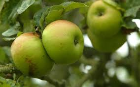 Patio Fruit Trees Uk by We Fussy Consumers Have All But Killed The Ancient English Apples