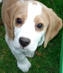 Radio Collar For Beagle