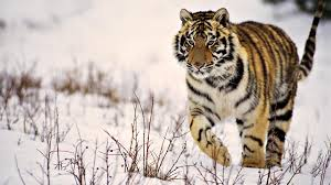 snow tiger hd wallpaper 1920x1080 id 21812 wallpapervortex com