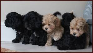 bichon frise shih tzu mix for sale shichon poo aka daisy dog puppies for sale mixed breed for sale iowa