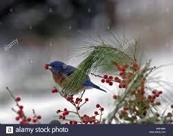 bluebird with red berry snow winter cape cod massachusetts stock
