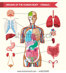 Pictures Of Anatomy Of The Human Body Spleen Stock Images Royalty Free Images U0026 Vectors Shutterstock