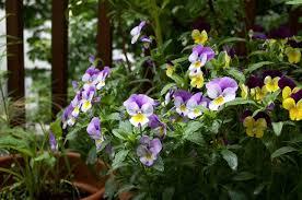 kletterpflanzen fã r balkon 17 best images about pflanzen für den balkon on abs