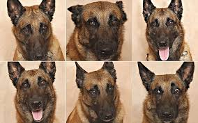 belgian shepherd ears scientists prove you really can tell what your dog is feeling by