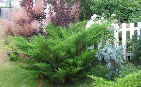 buy sea green juniper juniperus x pfitzeriana sea green 1