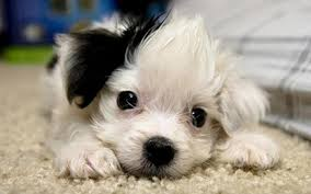 cute dog wallpapers cute puppy wallpapers group 79