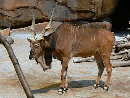 image gallery horned animal 4 letters