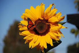 butterfly sunflower 2 kapcha the