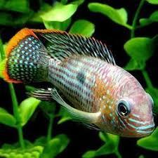 oscar fish manufacturers suppliers of oscar cashimara oscar