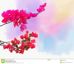background with ornamental climbing plant bougainvillea blossom