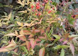 arbuste feuillage pourpre persistant plantations d u0027agrément dans un jardin existant contemplavert