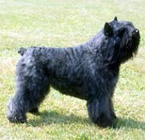 belgian sheepdog rescue ontario adopt a bouvier des flandres dog breeds petfinder