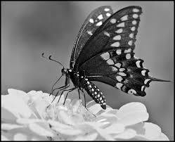 black and white butterflies a gallery on flickr