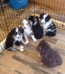 south dakota australian shepherd rescue hawk creek farms australian shepherds home facebook