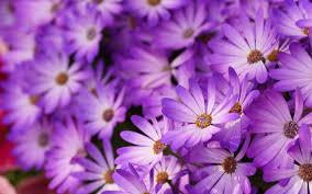 beautiful purple daises wallpaper hd download for desktop