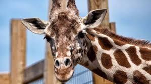 baby giraffe gender reveal details announced cbs denver