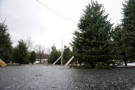 christmas trees still available locally news dailyprogress com