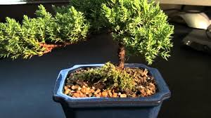 bonsai juniper tree needs help