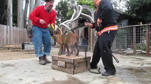 belgian shepherd houston artemis 17 week belgian malinois puppy training u2013 dogguru net
