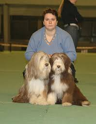 bearded collie brown bearded collie kennel u0027firstright u0027 rkf fci