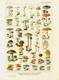 1912 champignons identification illustration planche originale
