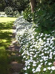 Flower Shrubs For Shaded Areas - 25 beautiful white flowering trees ideas on pinterest white